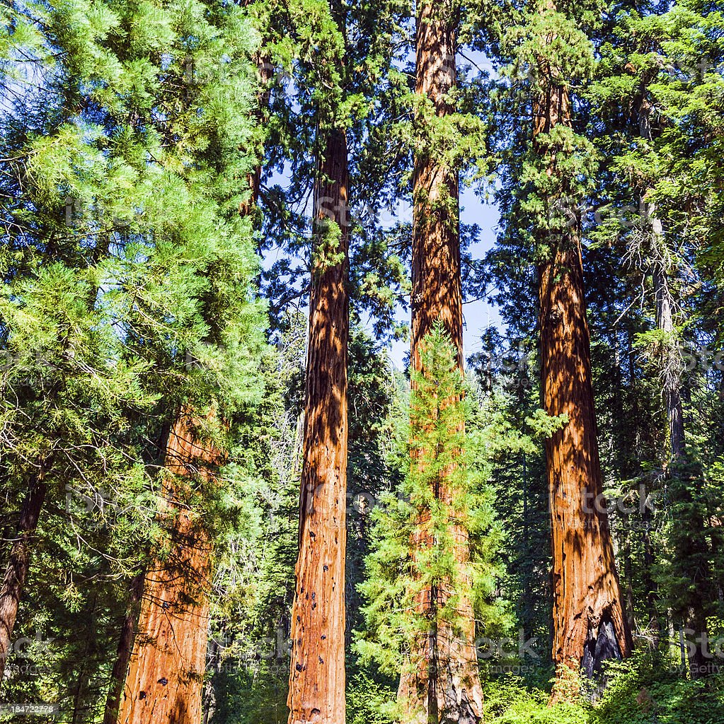 famous big sequoia trees royalty-free stock photo