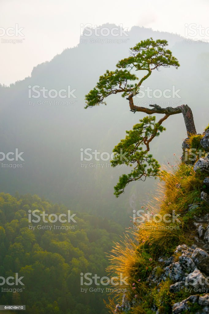 Famous curved pine tree on the top of Sokolica peak in Pieniny, Poland stock photo