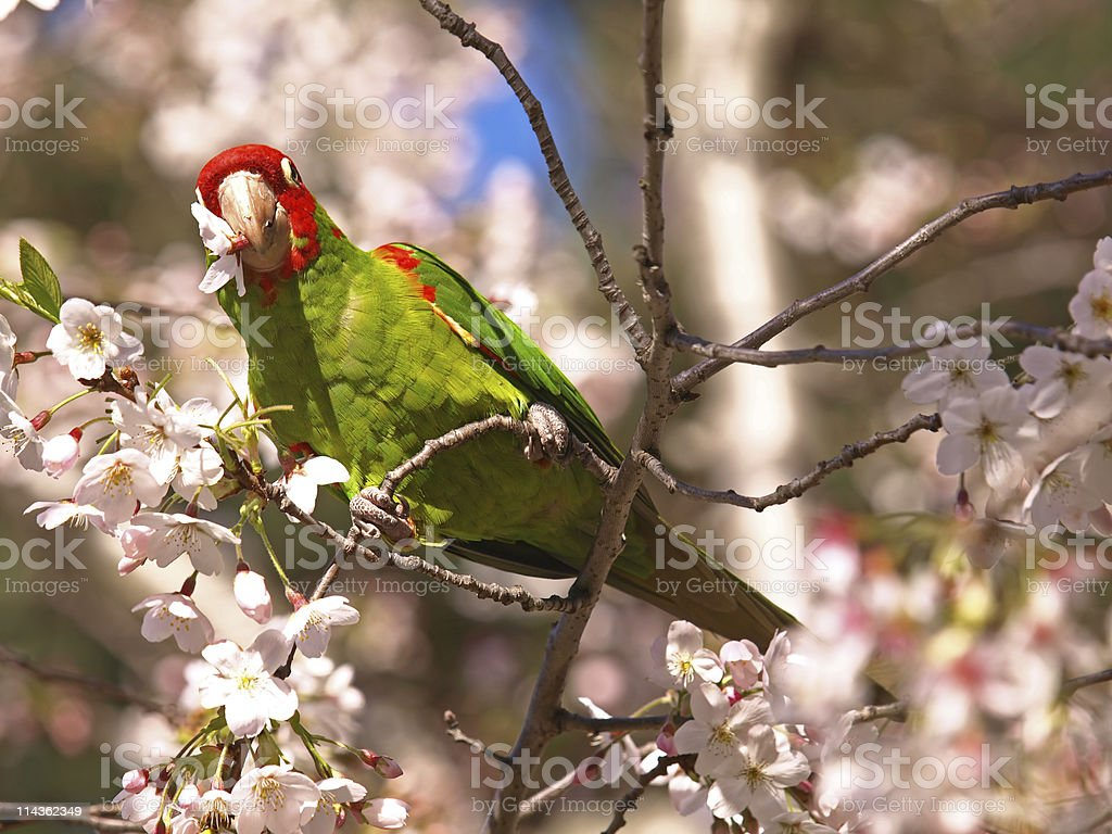 Famous Parrot in San Francisco North Beach royalty-free stock photo