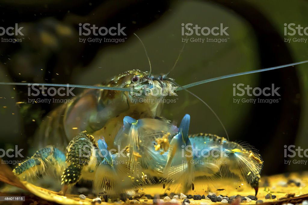 Fan Hand Shrimp stock photo