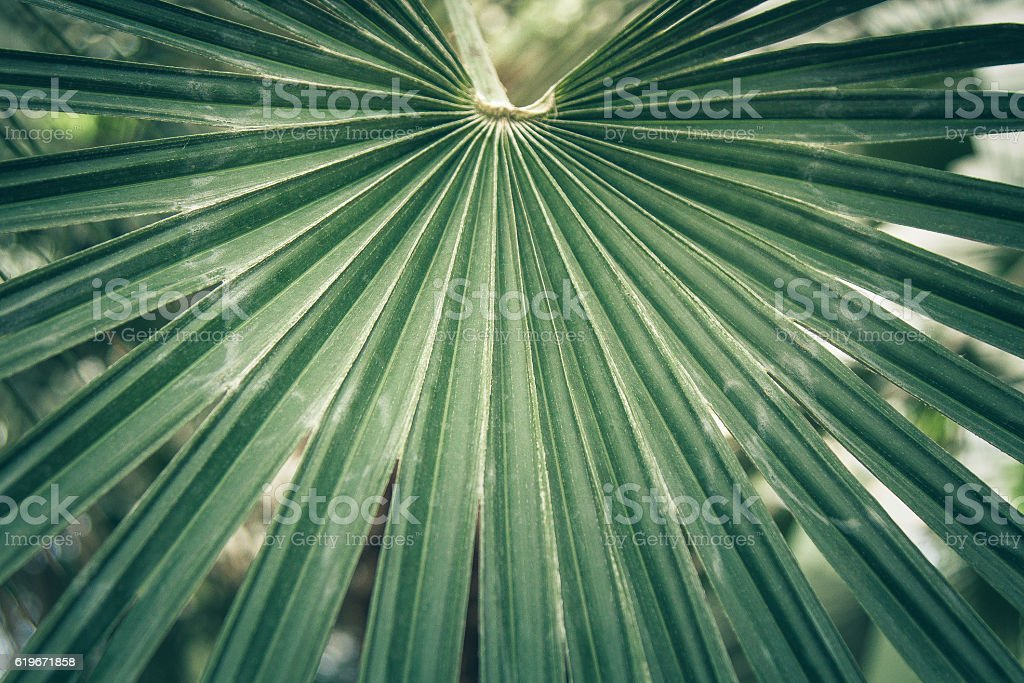 Fan leaf of a sabal palm, cabbage palmetto. stock photo