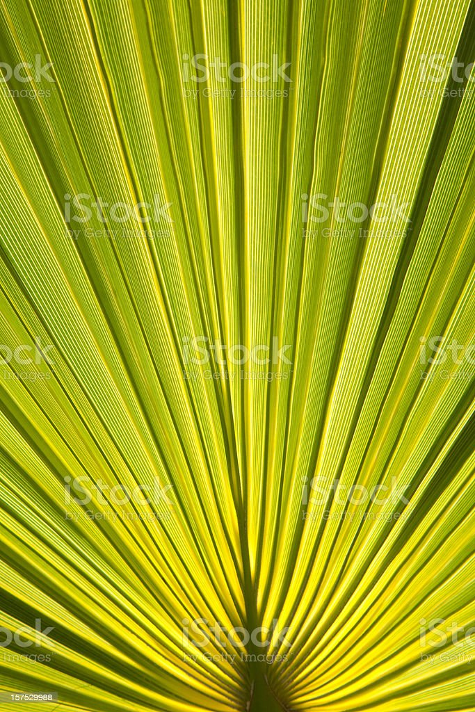 Fan Palm Frond, Backlit. Abstract Pattern royalty-free stock photo