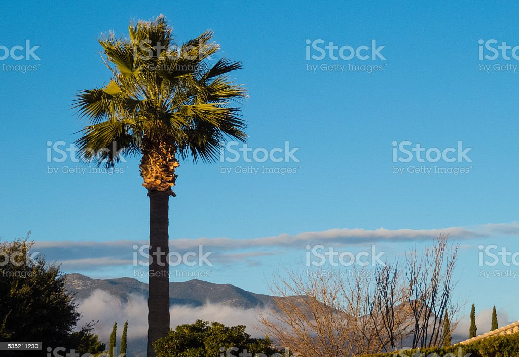 Fan Palm, Morning Sun stock photo