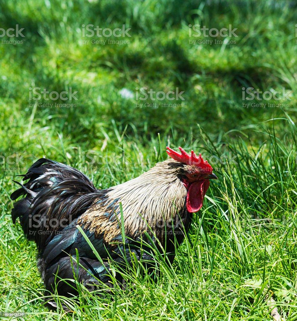 Fancy Bantam Chicken stock photo