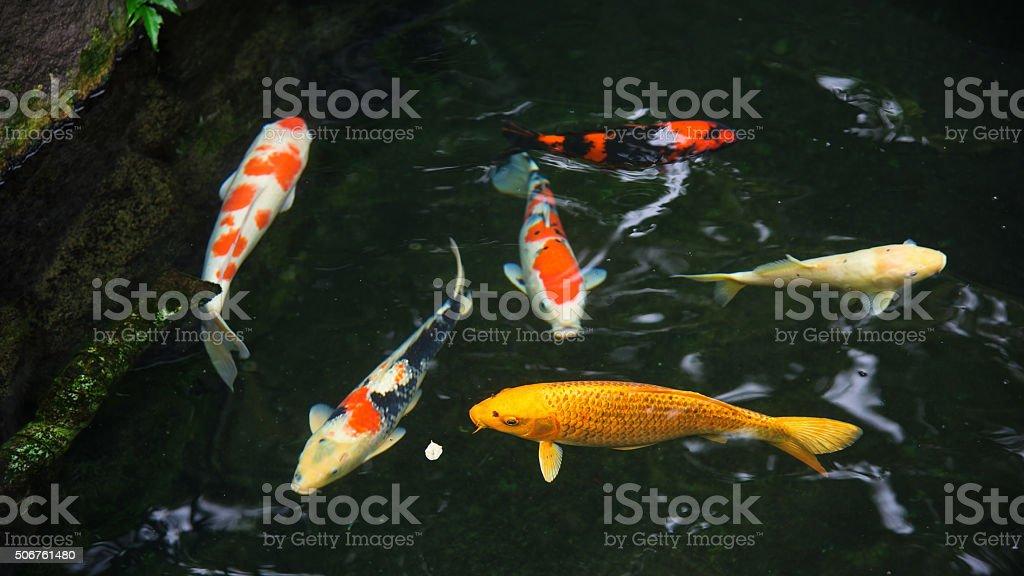 Fancy carp or koi fish stock photo
