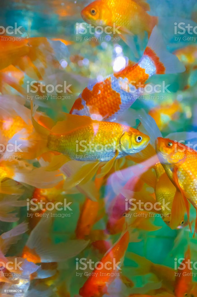 Fancy Koi fish in the pond. stock photo