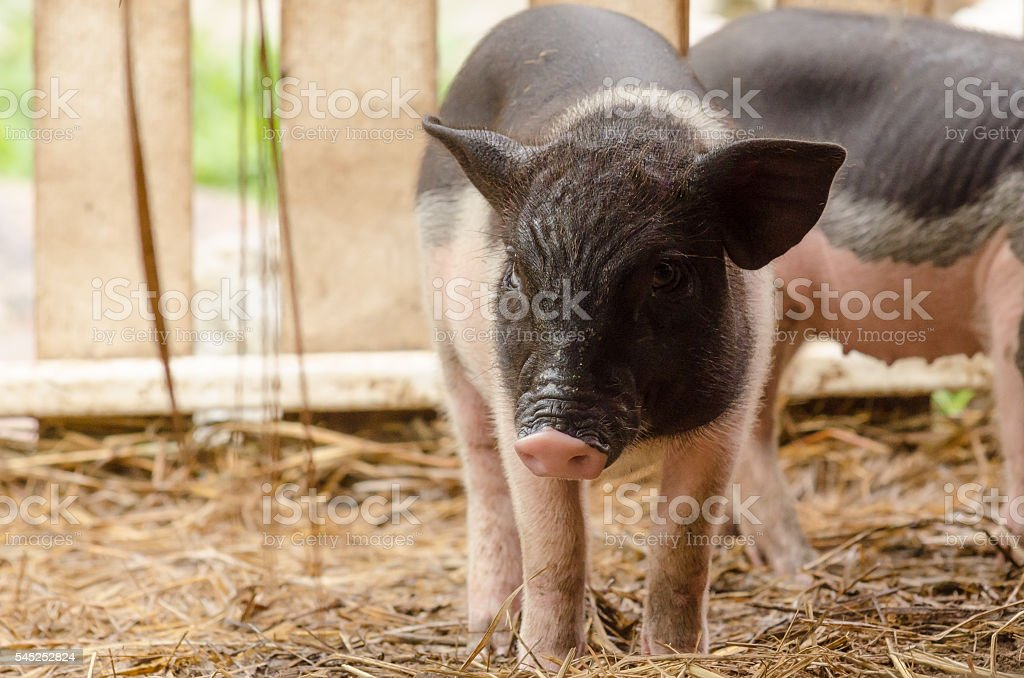 Fancy piglet stock photo