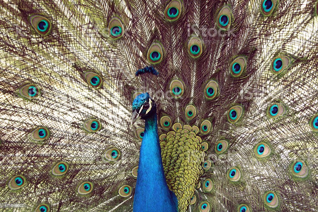 Fanning male peacock filling image royalty-free stock photo