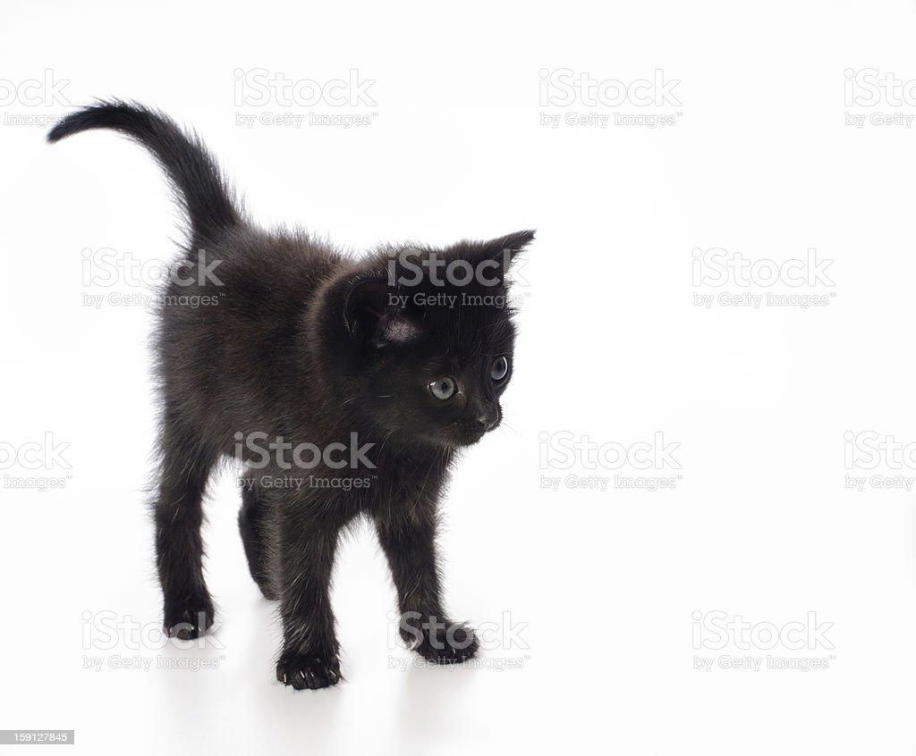 Fanny black kitten royalty-free stock photo