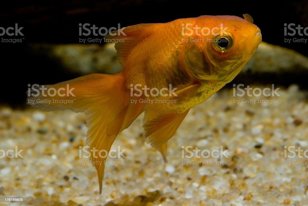 Fantail Goldfish stock photo