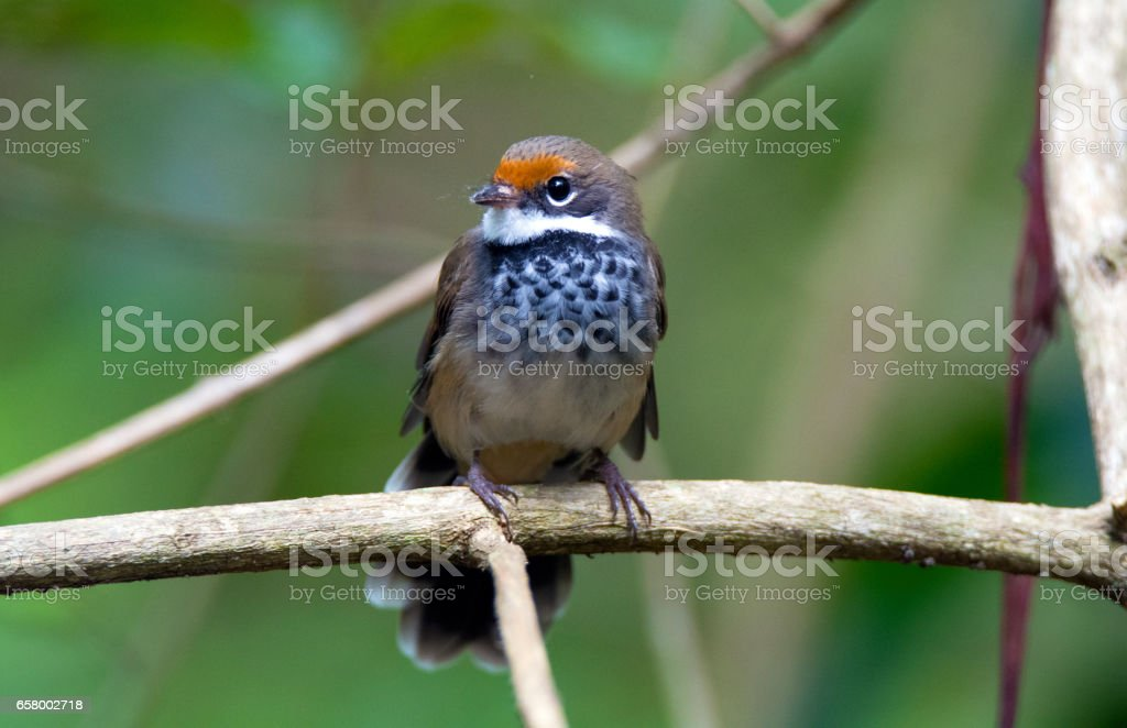 Fantails of Mount Nebo Queensland stock photo