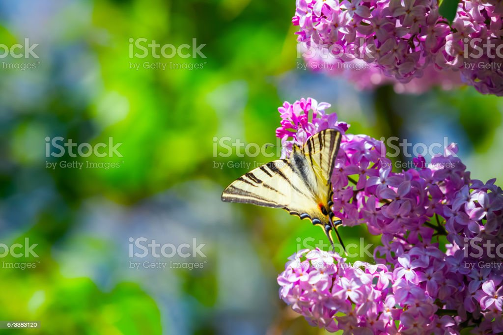 Fantastic bouquet of purple lilac magic swallowtail butterfly on a background of blue sky and green leaves. stock photo