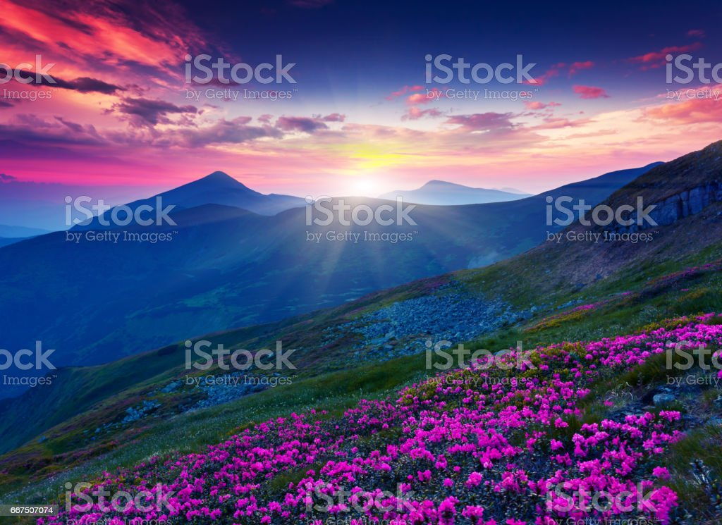 Magic pink rhododendron flowers on summer mountain. Dramatic overcast...