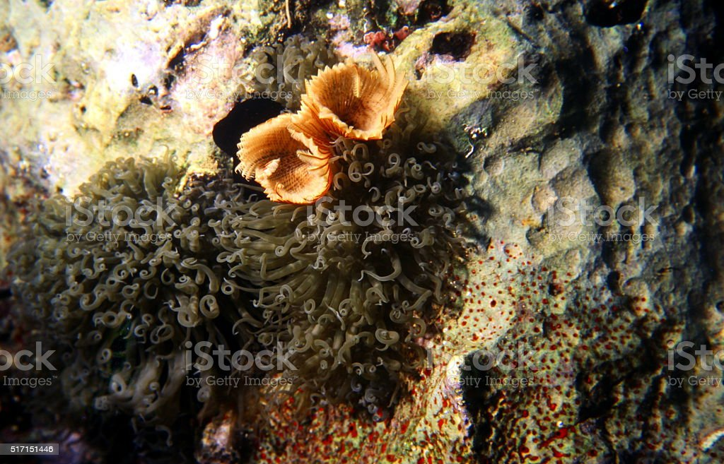 Fanworm and Sea Anemone on a Coral reef. Red Sea. stock photo