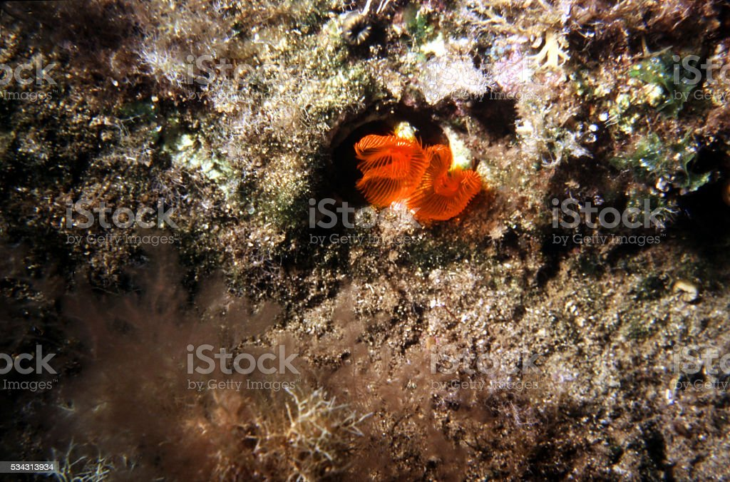 Fanworm on a cliff In the Mediterranean Sea. stock photo