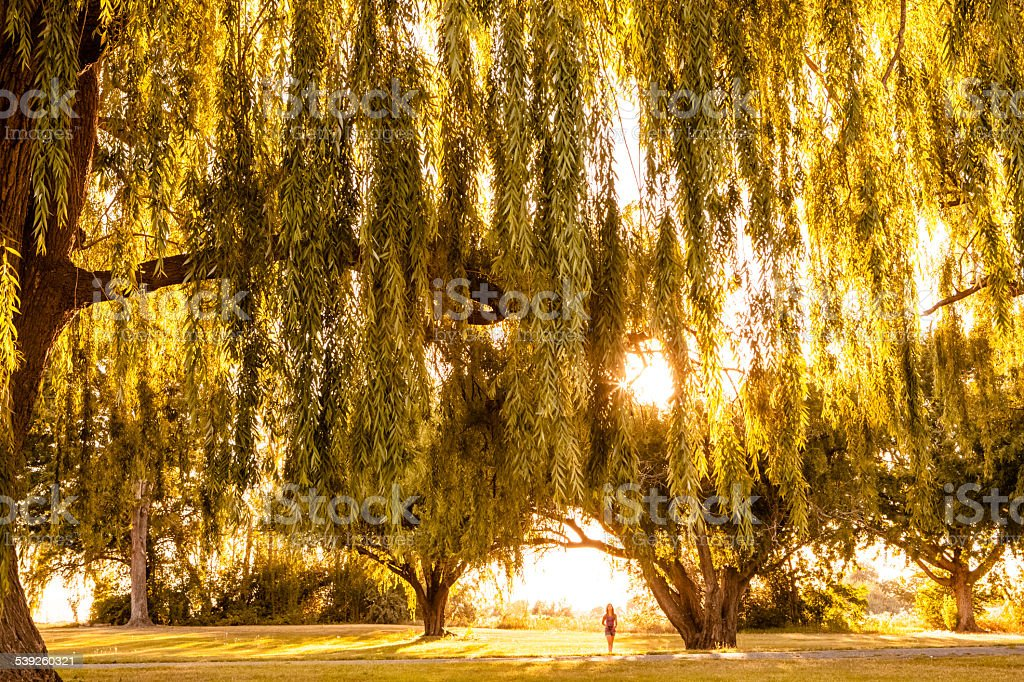 Far away person standing under backlit willow trees in sunshine stock photo