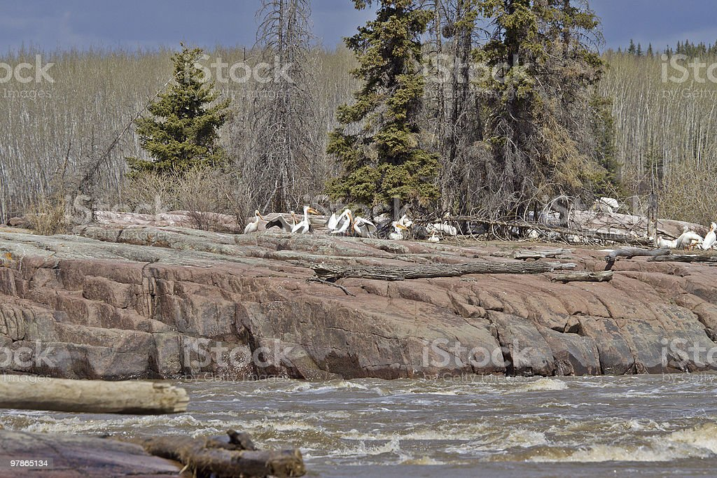 Far North Pelican Rookery stock photo