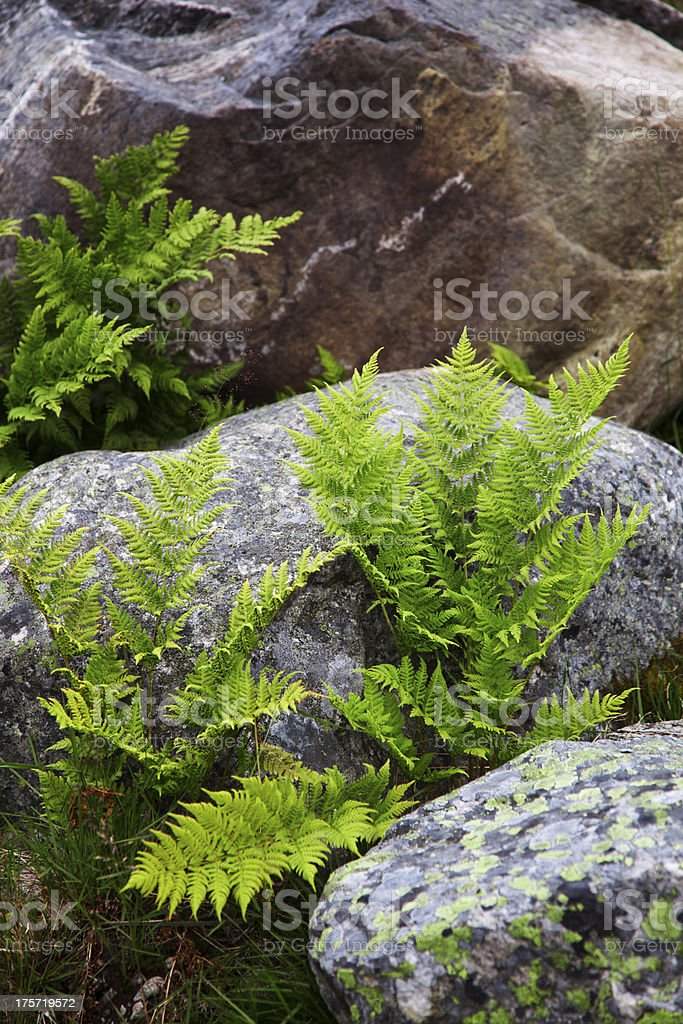 Fern. royalty-free stock photo