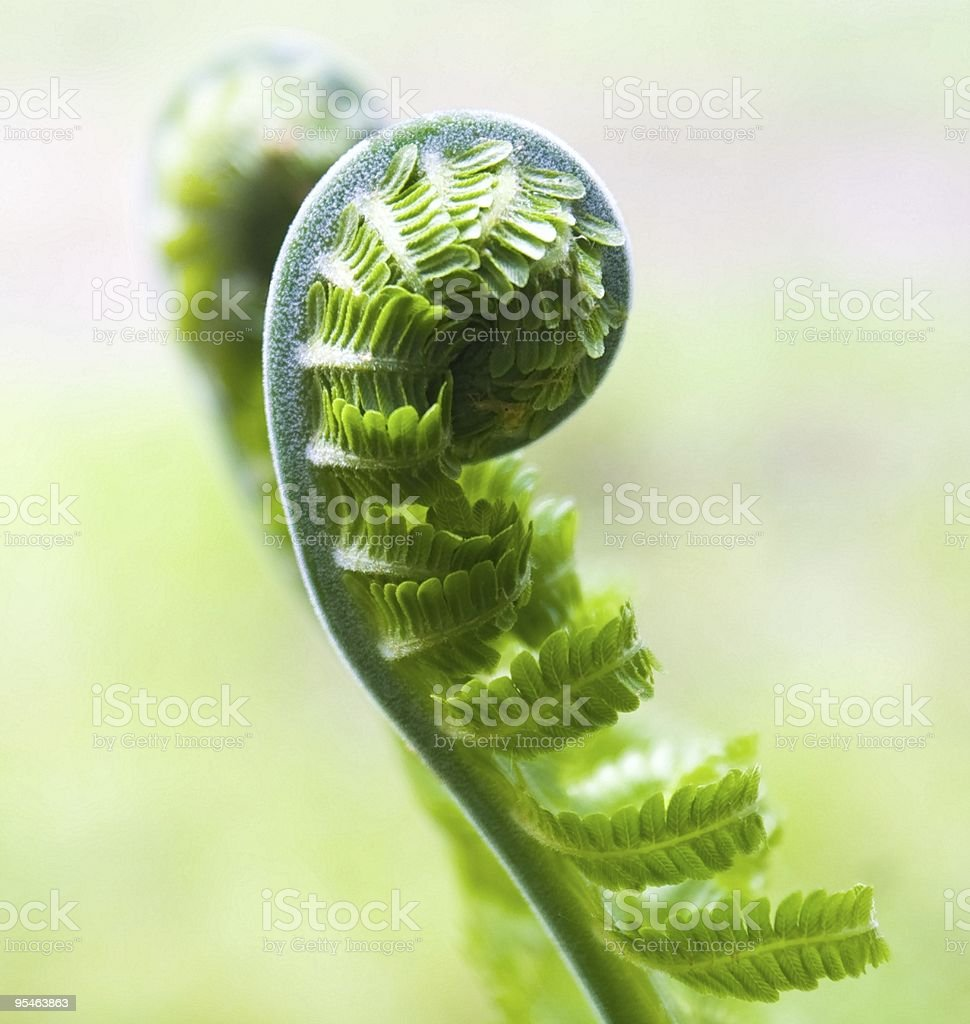 Fern royalty-free stock photo