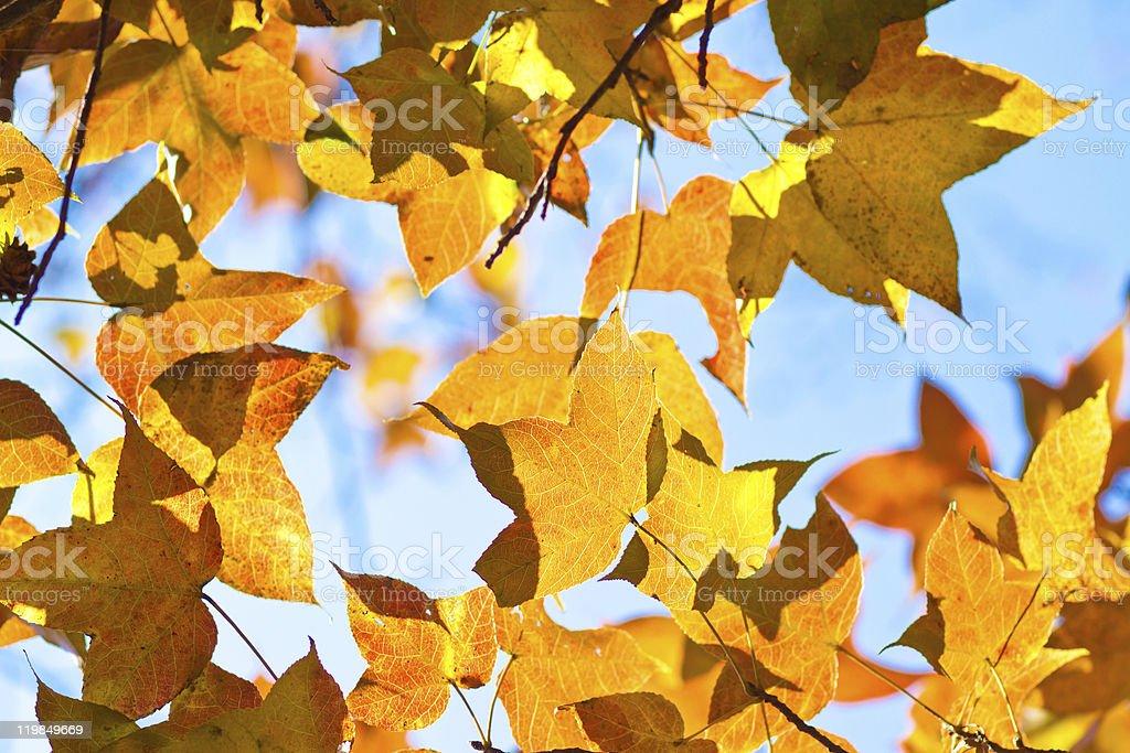 Farewell autumn maple leaves stock photo