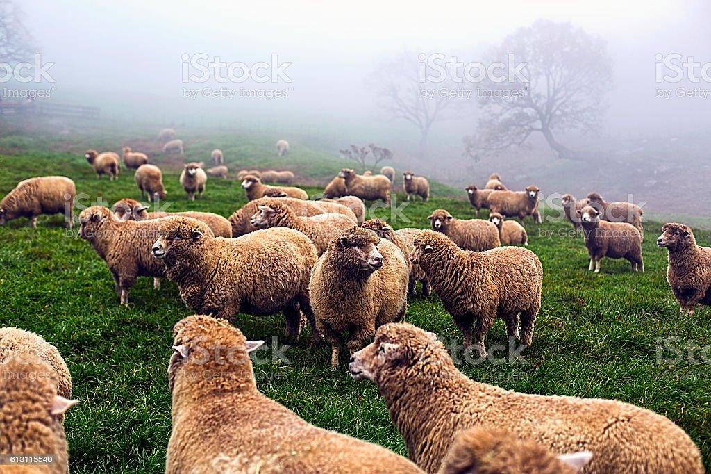 farm a flock of sheep stock photo