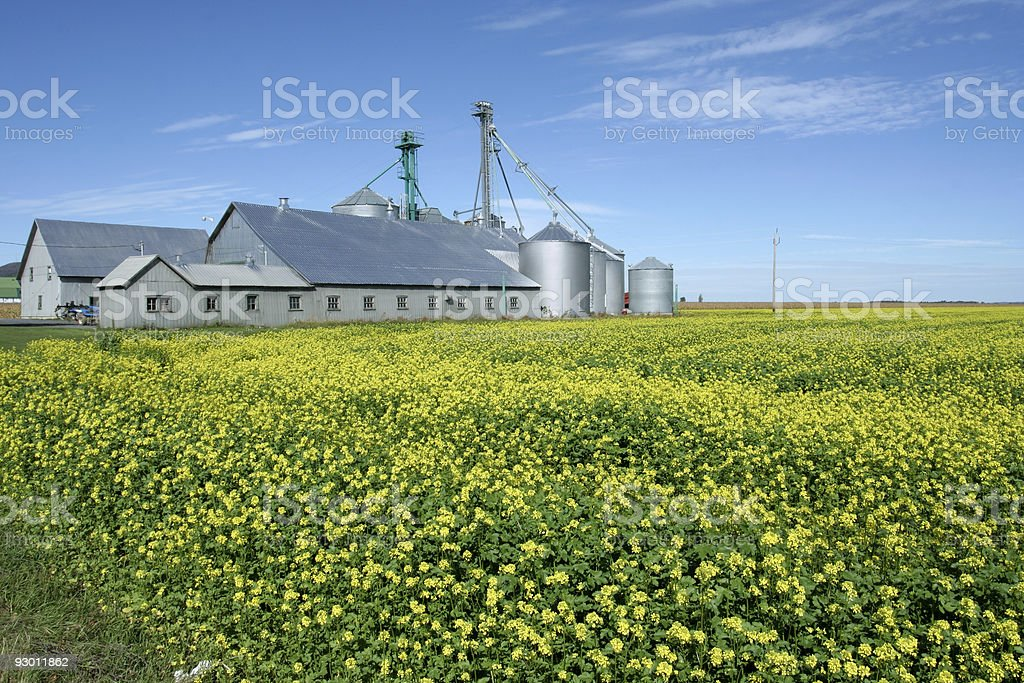 Farm and colza royalty-free stock photo