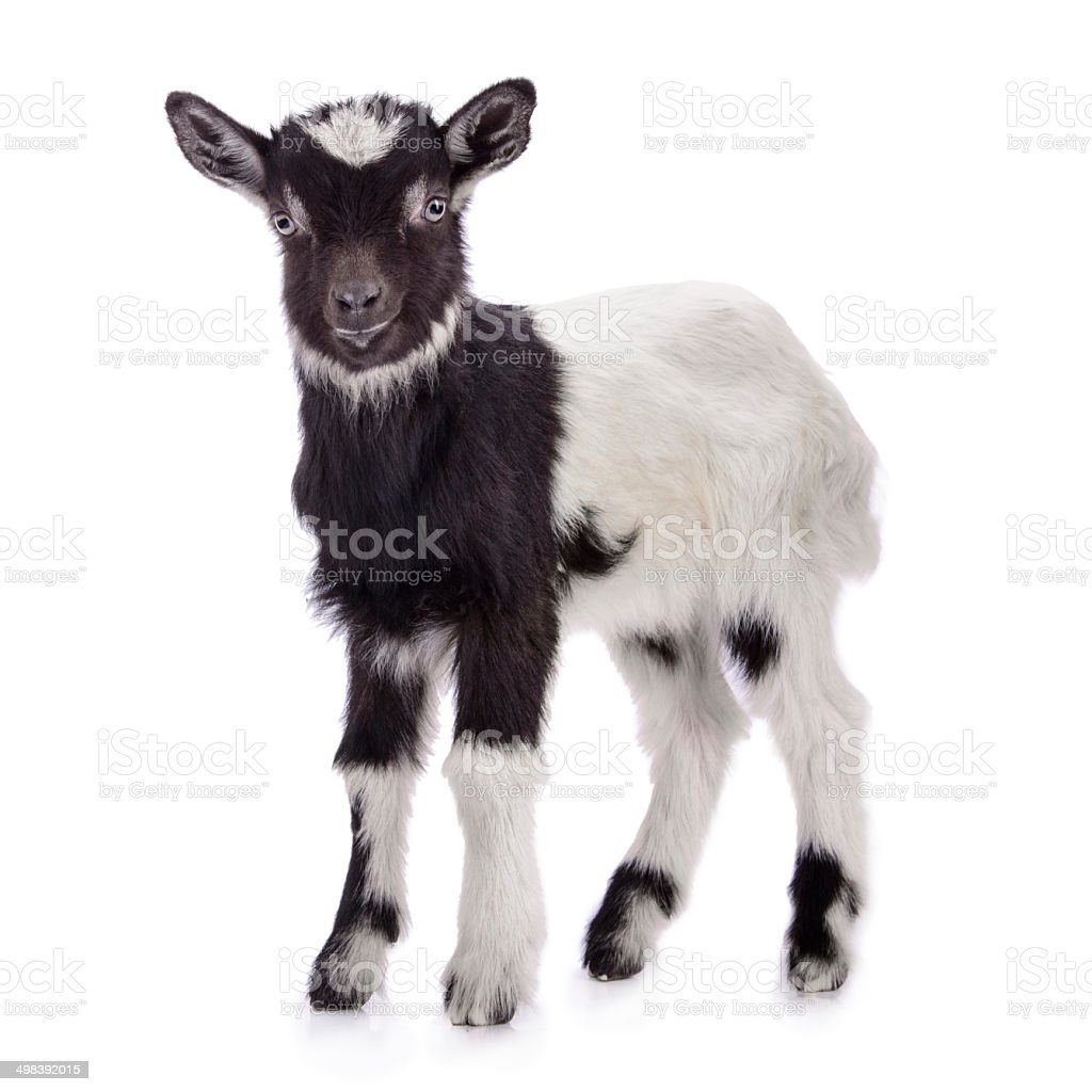 farm animal goat isolated stock photo