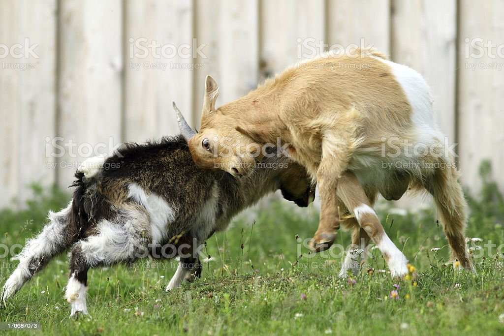 farm animals fighting stock photo
