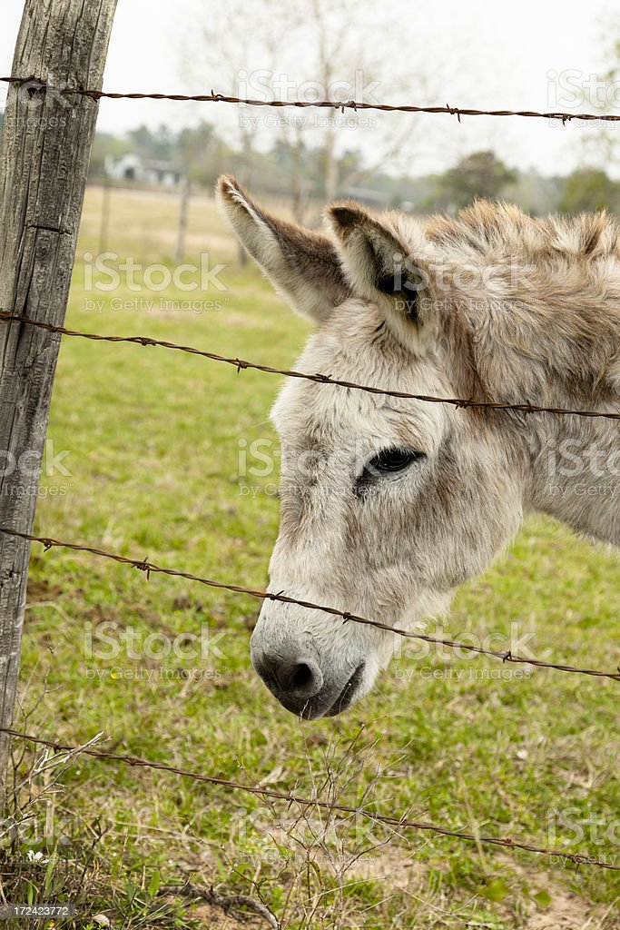 Farm Animals:  Little donkey lookng through barbed wire fence. stock photo