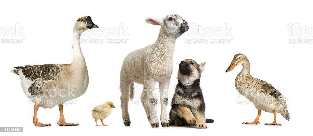 farm animals royalty-free stock photo