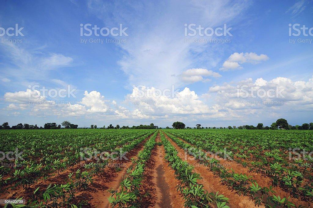 Farm Cassava stock photo