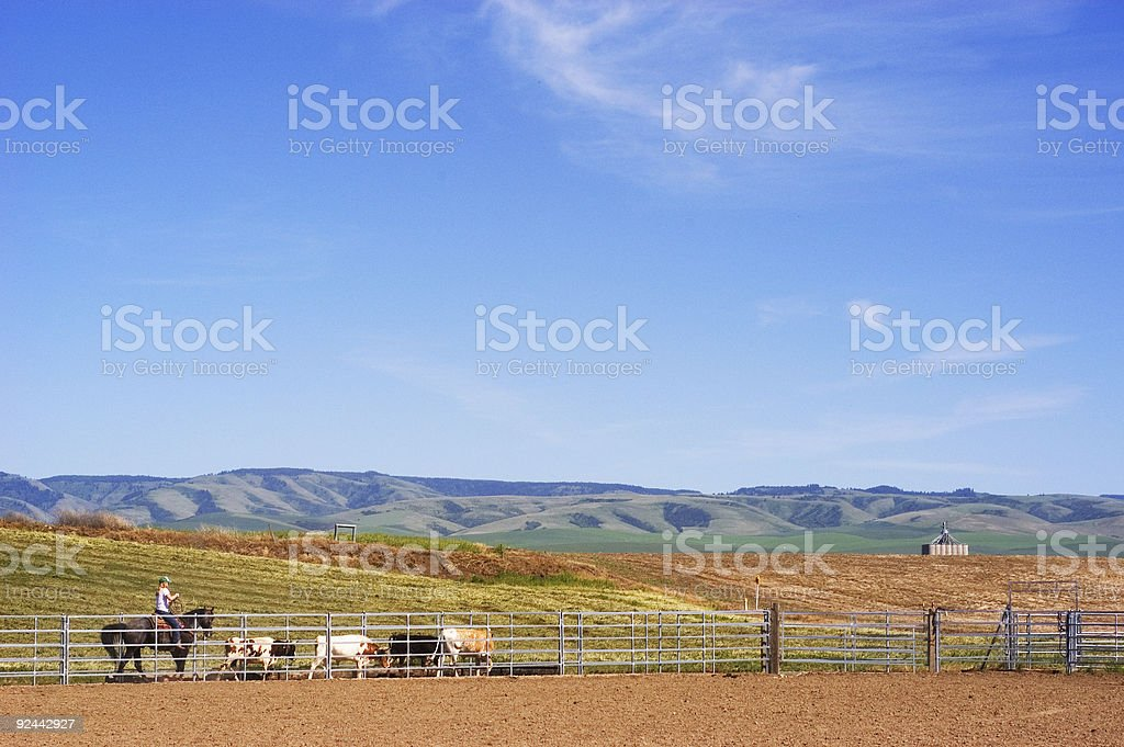 Farm cattle call royalty-free stock photo
