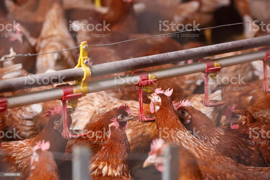 Farm chicken in a barn, drinking from waterer stock photo