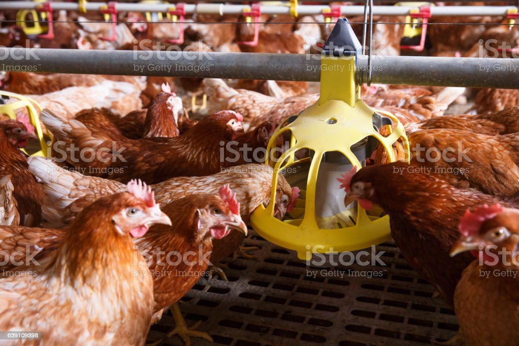 Farm chicken in a barn, eating from an automatic feeder stock photo
