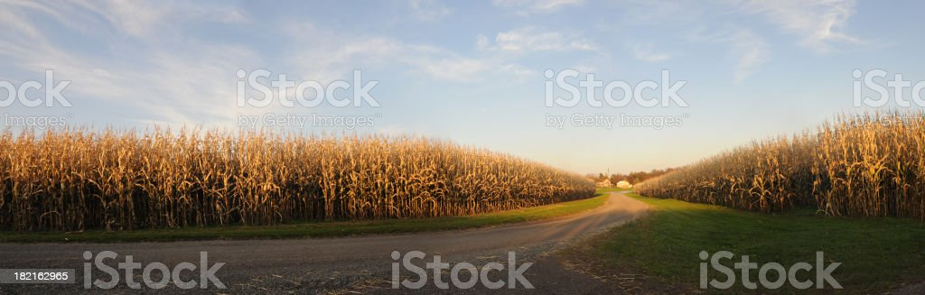 Farm corn panoramic stock photo