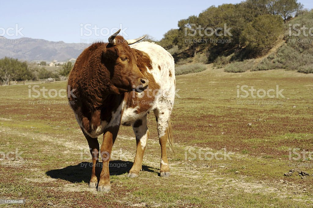 farm cow royalty-free stock photo