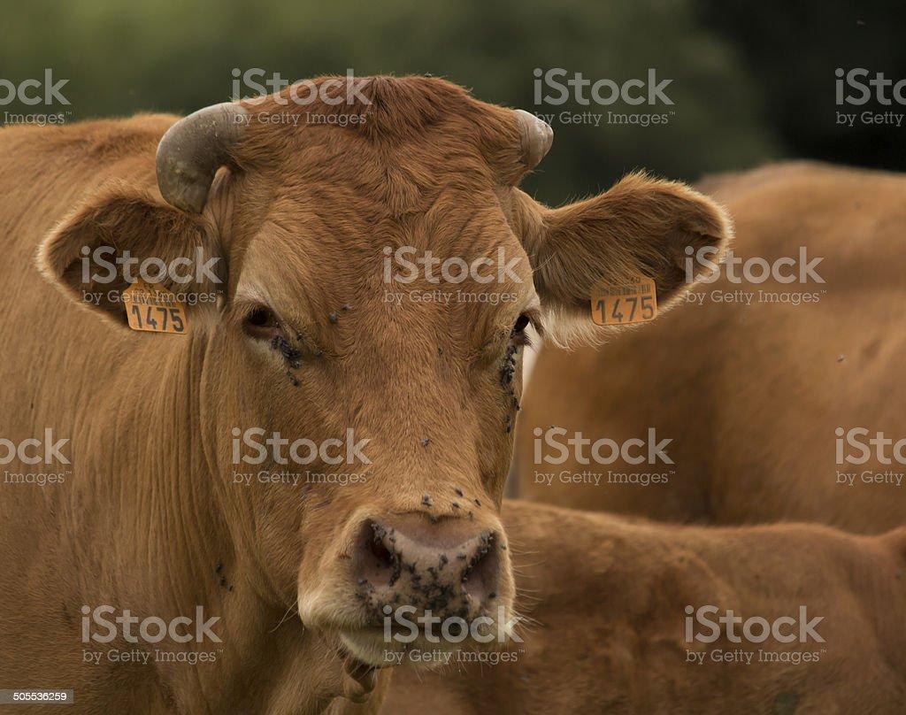 Farm cow portrait stock photo