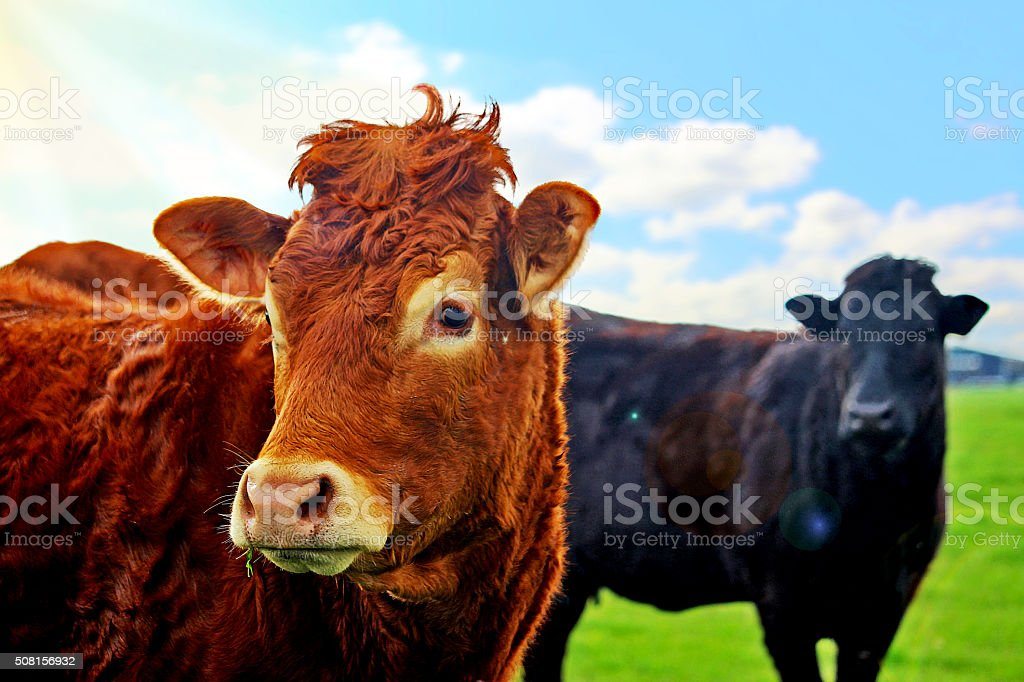 Farm Cows stock photo