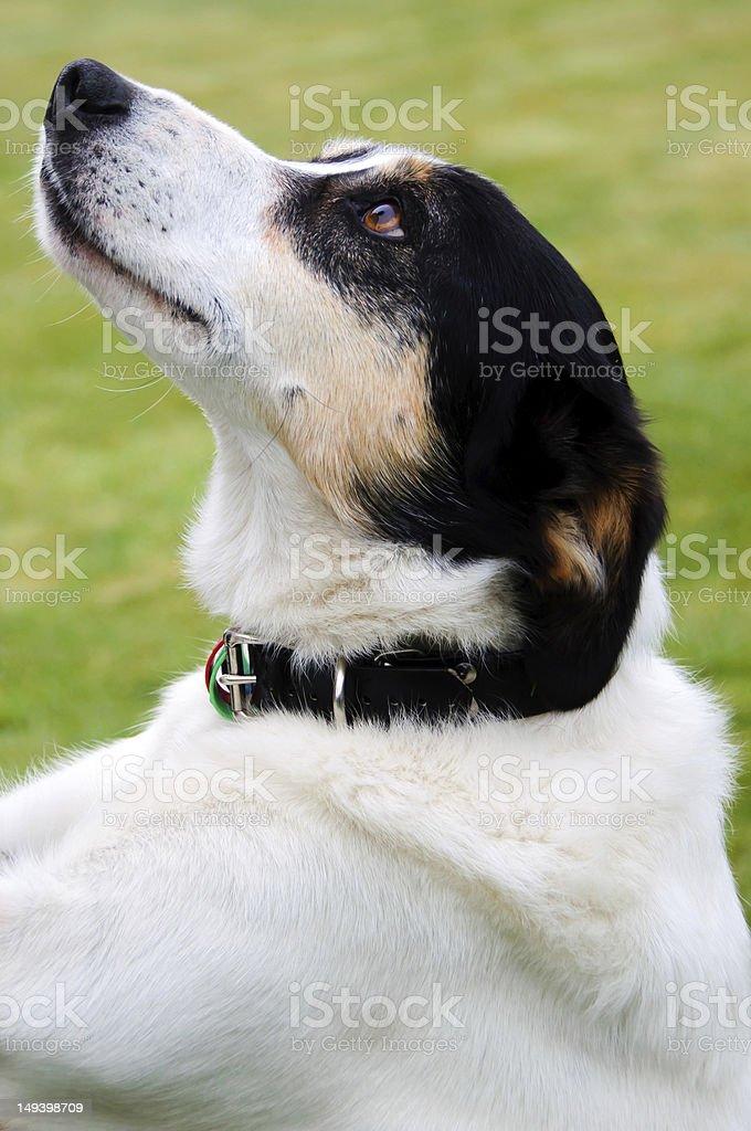 Farm perro mirando hacia arriba en datos maestros foto de stock libre de derechos