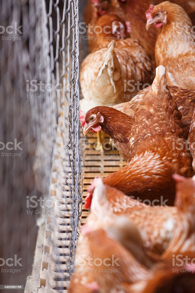 Farm egg-laying hens, living in confined spaces stock photo