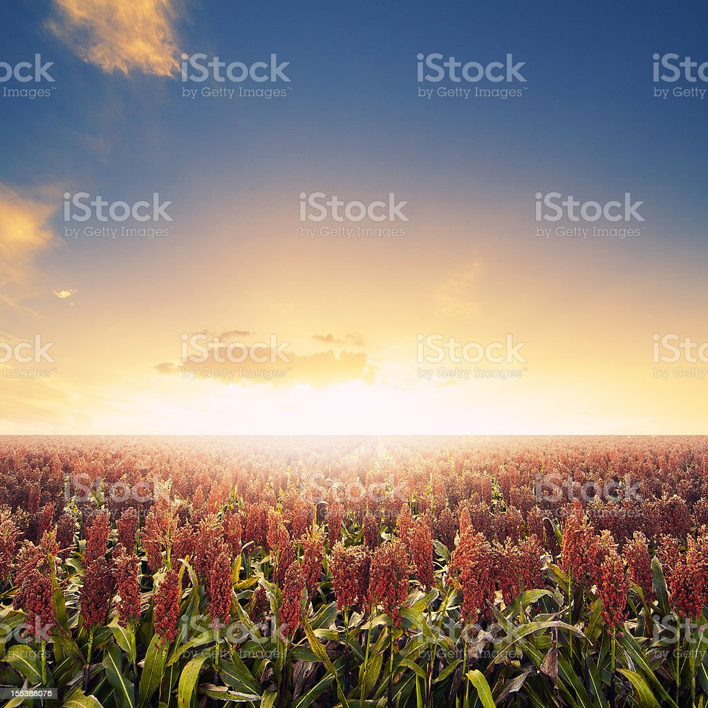 Farm field at sunrise royalty-free stock photo