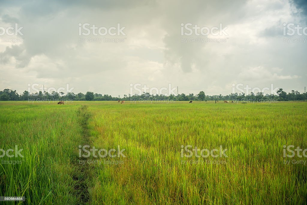 Farm field red cow Laos stock photo