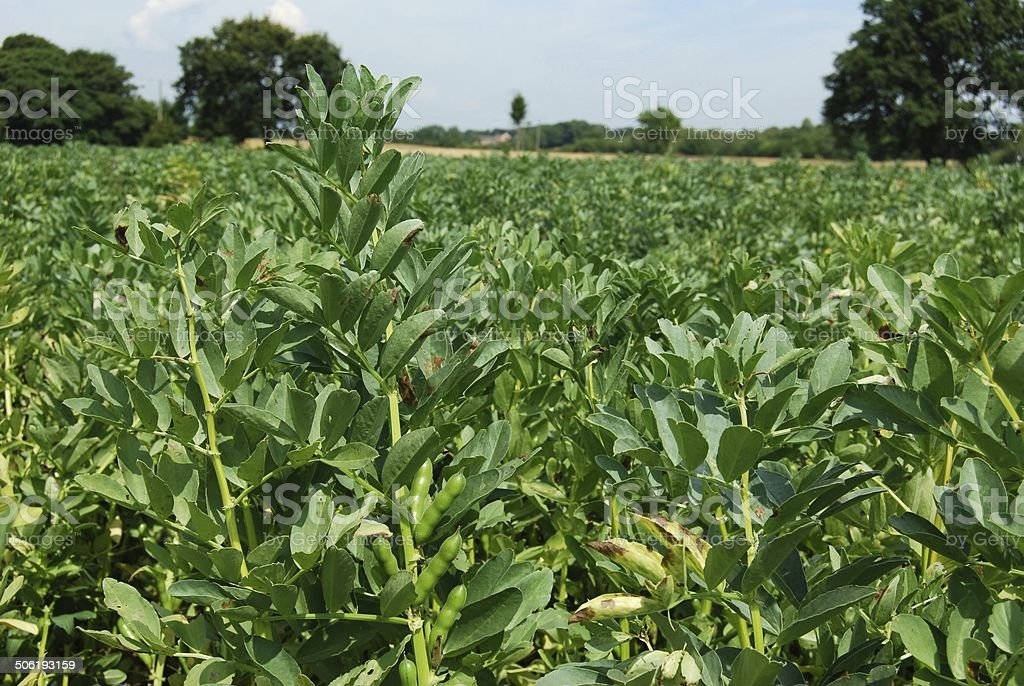 Farm field with broad bean food plant crops stock photo