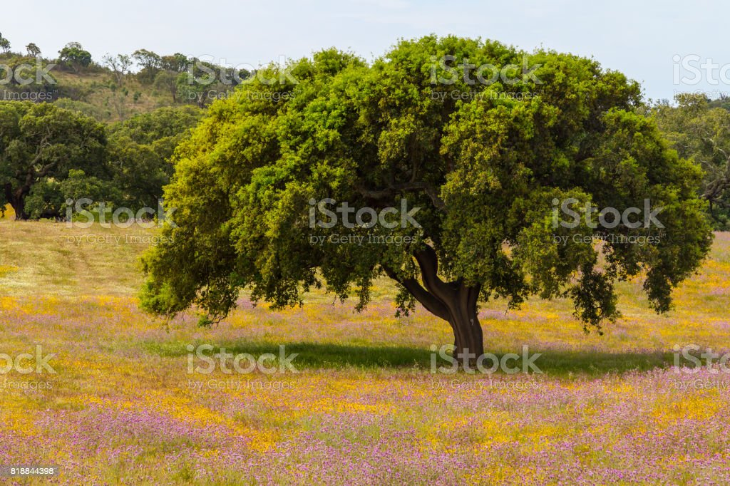 Farm field with  flowers and Cork tree in Porto Covo stock photo