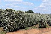 Farm flowered coffee plantation in Brazil