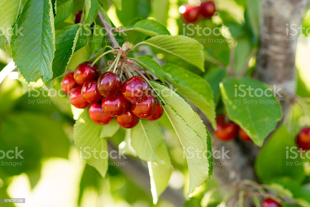 Farm Fresh Cherries Sweet Fruit Vine Cherry Tree Farm Agriculture stock photo