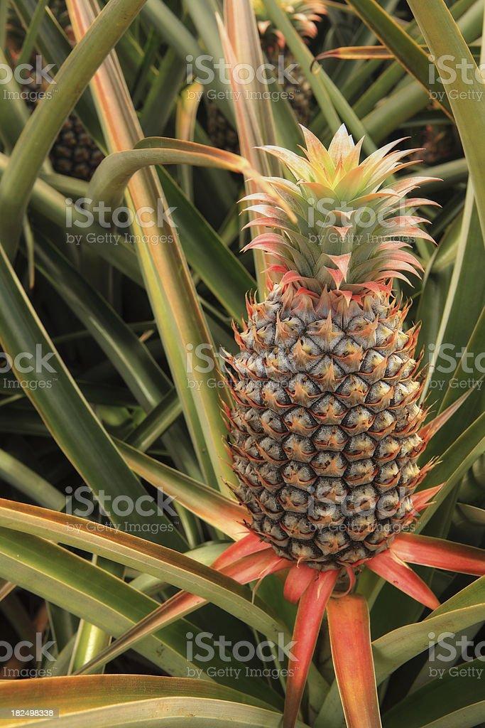 Farm Fresh Pineapple royalty-free stock photo