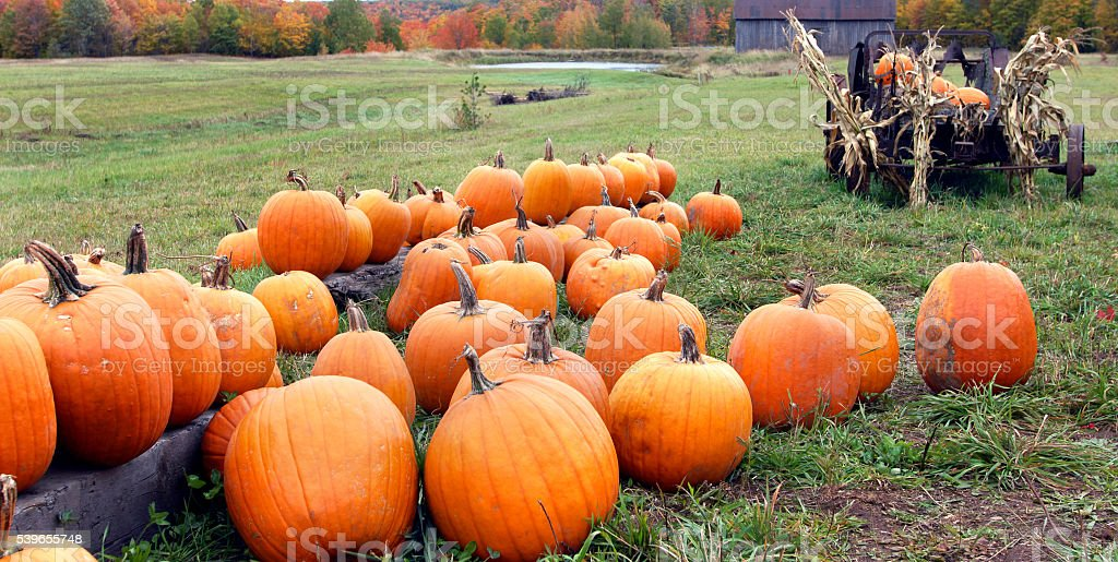 Farm fresh pumpkins stock photo