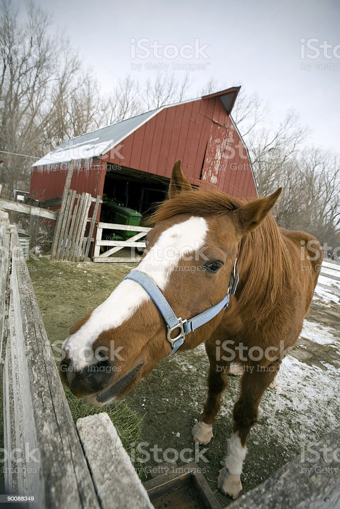 Farm Horse royalty-free stock photo
