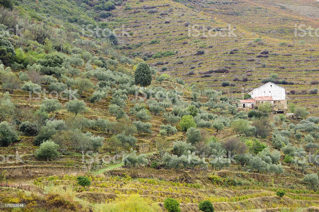 Farm house surrounded by vineyards and olive trees royalty-free stock photo